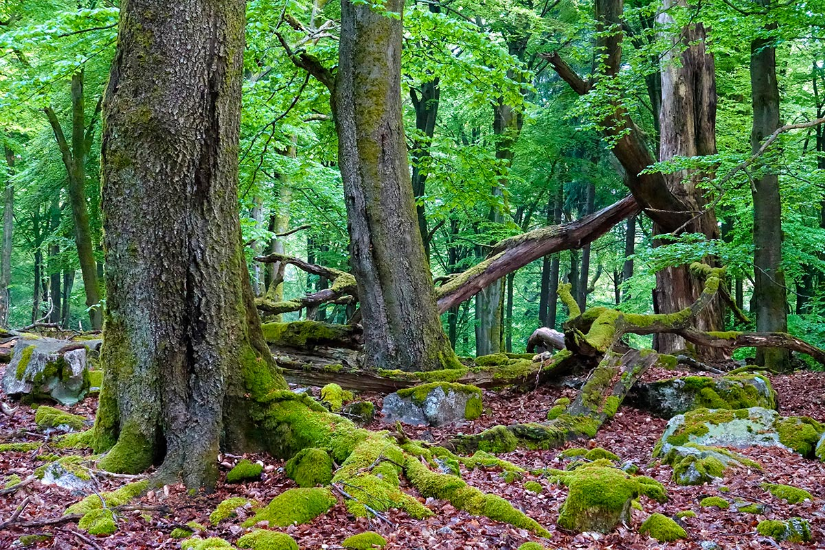 Nationalpark Hunsrück-Hochwald - Totholz - Foto © nlphh.de Konrad Funk