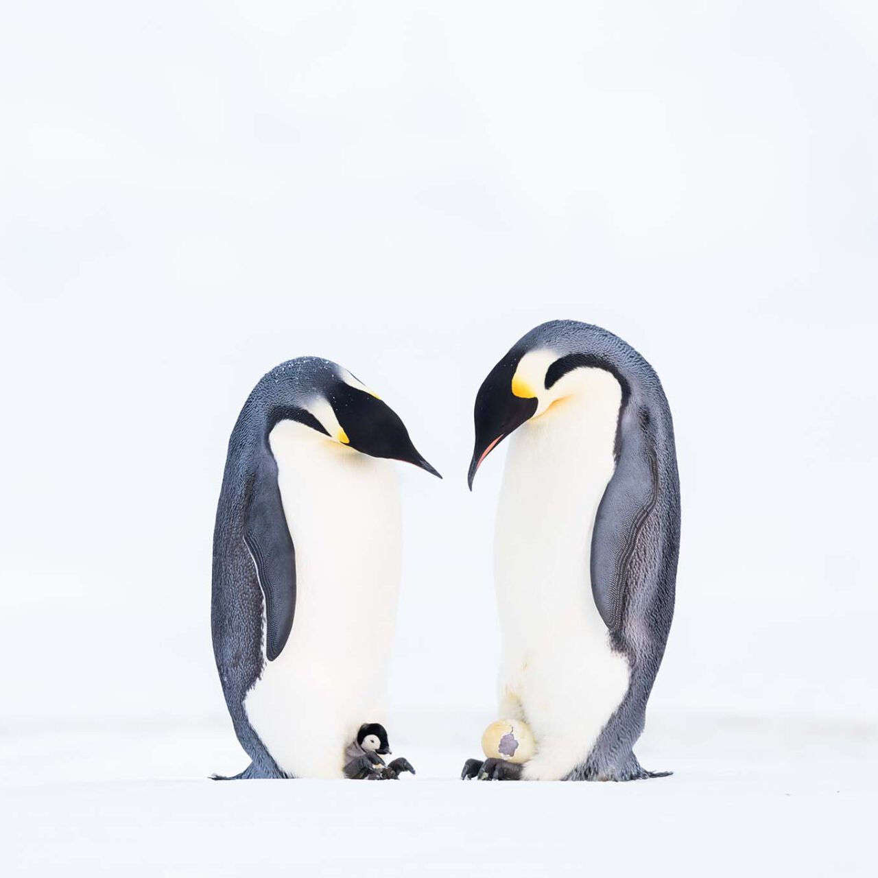 05 - © Stefan Christmann - Pinguinliebe – Ein Bund Für Leben